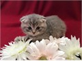 Scottish Fold Male Female  for more information and some lovely pics text to reach us with 319