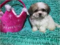 Malshi Puppies T Cups for sale A Malshi puppy is a designed bread of a maltese and shih tzu  i hav