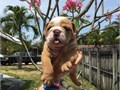 adorable english bulldog pups ready to go and they needs a home asap please contact via text or call