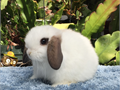 Unique Dwarf Purebred Holland Lop baby bunnies  Very sweet and mellow Use to being around cats and