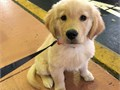 cute and lovely golden retriever puppy available for more details contact me
