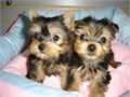 Pure AKC Female Male Yorkie  12 weeks old 3-4 lbs only very small Paper p