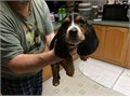 Basset hound puppies for sale These beautiful puppies are family raised and are very friendly Th