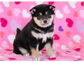 Friendly Shiba Inu puppies available get in touch if interested