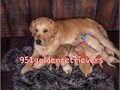 AKC GOLDEN RETRIEVER PUPPIES BEAUTIFUL GREAT TEMPERAMENT We strive to produce healthy well bred
