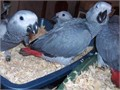 Cute pair of talking Congo African grey parrots looking for a caring and loving forever new home 5