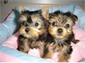 Yorkie puppies Male and Female 11 weeks old both parents are on site 1st set o