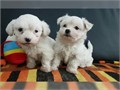 Purebred Maltese Puppies Available Call or Text 205-660-0905They are up to date on shots and dew