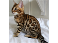 Fantastic Bengal Kittens for a new home ready now Available Now For Quick Responses Text us at 469