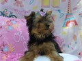Adorable AKC Registered Yorkshire Terrier puppies for sale Two girls available Both parents on pre