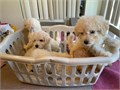 rehoming litter of puppies 8 weeks old males and females available UTD on shots
