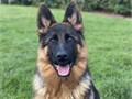 Beautiful female is a dream come true She is 9 Month old Beautiful female  bl