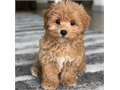 Healthy Maltipoo puppies well raised potty trained vet checked health guaranteed playful with ki