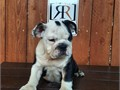 male English bulldog puppies available puppies are 10 weeks old AKC register and will come with firs