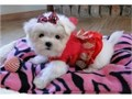 T-Cup Maltese Puppies they are Very sweet and playful these babies are raised in my living room sp