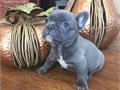 AKC Male Silver blue platinum blue French bulldog puppy home raised with love