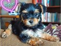 Yorkshire terrier puppies up for adoption for more pics and details send text to