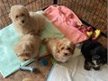 Maltipoo Puppies Only Males available 10 weeks old Vaccinateddewormed Health record Hypoallerg