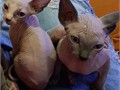 Sphynx Male Female  for more information and some lovely pics text to reach us with 319 983 370