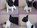 Female Frenchbulldog born Aug 10th available  Will come with vaccines to date and microchip 2500