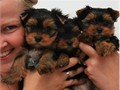 text us on 240-257-8923 Teacup Yorkie Puppies For SaleMy puppies are all potty