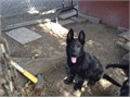 akc german shepherd pups sire  solid black from schh 3 titled german import 80 plus years of sel
