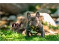 Quad CarrierSon of BullyOnDuty King Cobra  RRBullyz PixiePossible puppy back on approved female