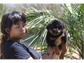 Rottweiler German AKC Male Puppy Big Block Head 8 Weeks Old All Vaccinations And Dewormed Parents On