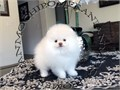 AKC CH Bloodline Teacup ice White Male Pomeranian Gorgeous Teddy Bear face Hug