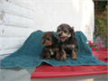 Adorable Morkies two left male    female  12 weeks old   welcome to take a lookhealthy  pl