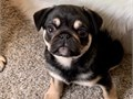 Registered Pug Puppies Available For New Homes Visit our website at httpspugpuppiesparadisecom