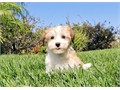 Dexter is a Dashing male Havanese He is 9 weeks old and Extremely playful This boy has his up to d