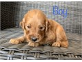 I have these Gorgeous Goldendoodle puppies they are not ready to go yet but i will be taking deposi