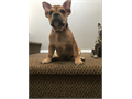 UKC French Bulldogs 1-  Male Puppy Father of the puppy is Blue pied    He has 3 shots deworming
