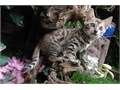 Playful Bengal kittens ready for adoption Please text 1 985 606-3577 for more information and pi