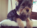 Beautiful Yorkie Female for sale  Born 10192015 Almost housebrokenneed to find new owner due t