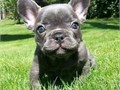 Clean French Bulld0g Pup Please for more details for the puppies feel free to Te