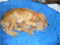 AKC Golden retriever puppies for sale 75000 eachThree males and three females to choose from