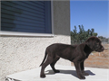 We have few wonderful and playful AMERICAN AKC CHOCOLATE LABS available to pick up in LITTLEROCK CA