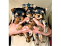 Two beautiful Yorkie looking for loving and forever homes They have been around other dogs and cat