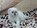 Scottish Fold Male Female  50000 For more info and pic of the babies kindly call or text 678