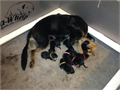 I have a female German Shepherd Luna expecting to have a litter of AKC registerable puppies on 7 A