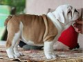 khkGorgeous Home Raised english bulldog Puppies Available For RehomingTextsCalls Only to972