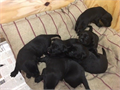 Black and Golden Labradors for sale 4 bitches and 3 dogs available will be ready to leave mother fro