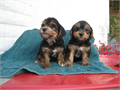 Adorable Morkies two left male  female 15 weeks old welcome to take a lookhealthy  playful