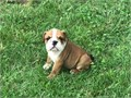 English bulldog puppies now ready There looking for there forever homes424 427-1044