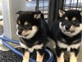 Stunning Shiba inu Puppies For Sale Male and female puppies They come with up t