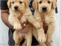 Two Golden Retriever PuppiesWe have 2 cute and adorable Golden puppies for adoption They are home
