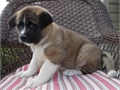 Super adorable akita puppies Text or call 864 206 5282  serious inquiries only