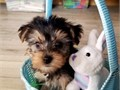 Super adorable Yorkie Puppies So gentle and affectionate I have 3 left  This is a great breed for